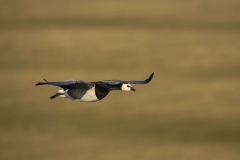 Barnacle Geese in flight single sharp_Q3G1357