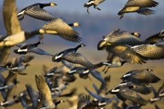 Barnacle Geese taking off_Q3G2030