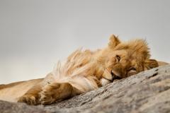 Lion-port-on-rockD93G5568