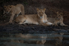 Lioness-and-2-9-month-old-cubs-by-water_WM28801