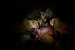 Lions-feeding-on-a-hippo-nightD93G8082