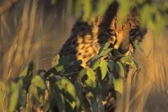 cheetah cub hiding edit