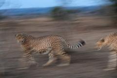 cheetahs-chasing-panned_WM10703