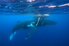 Humpback Whales - Mother and Calf resting