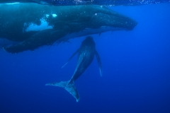 Humpback Whales - Calf swimming under its mother