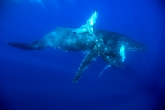 Humpback Whales - Mother and Calf playing