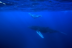 Humpback Whales - Calf swimming over mother