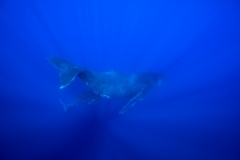 Humpback Whales - Mother and Calf diving