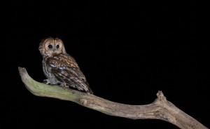Tawny-Owl-BWM13951