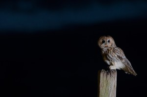 Tawny-owlBWM13873
