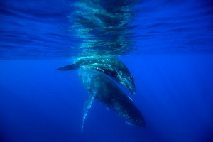 Humpback-mother-and-calf-diving_MG_1631