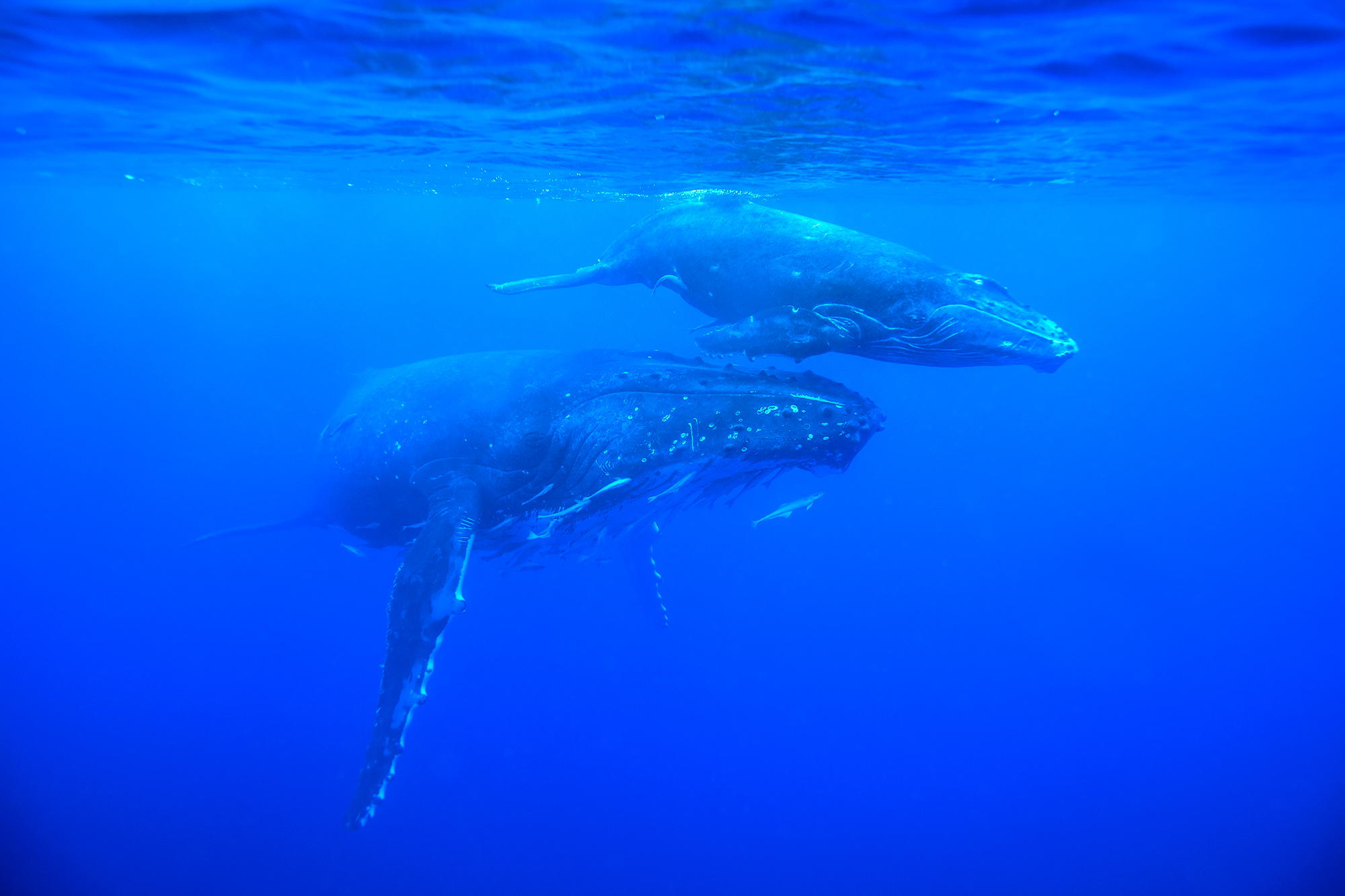 humpback-mother-and-calf-nice_MG_1426