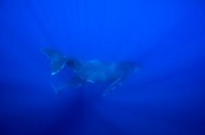 humpbacks-diving_MG_1663