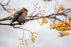 Waxwing-and-yellow-berries-BWM14494