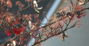 waxwings-nortonBWM14884